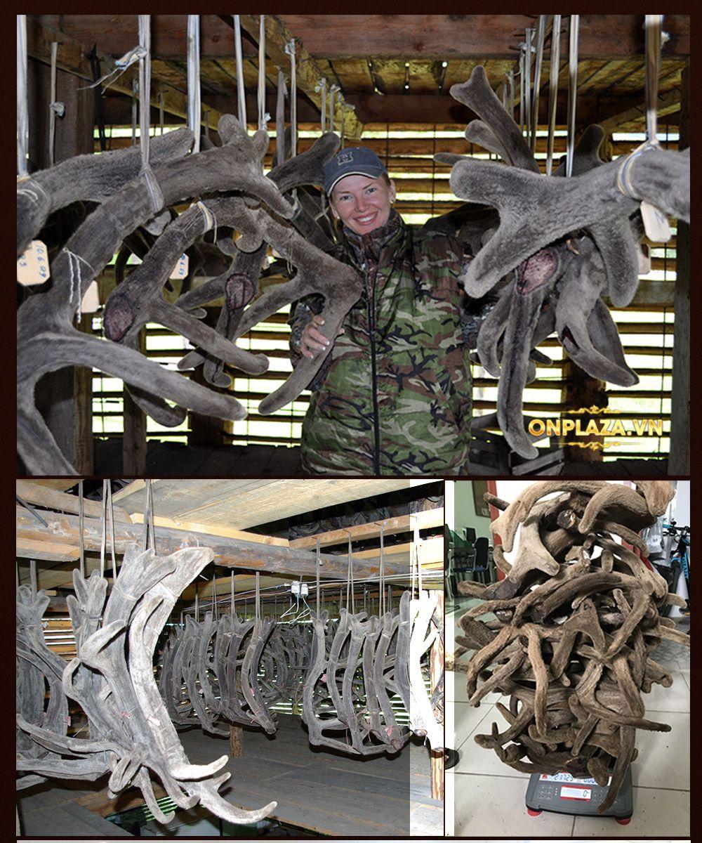 Nhung hươu tự nhiên Sibiri Liên Bang Nga