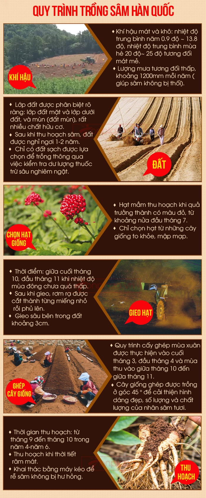 quy trình trồng nhân sâm