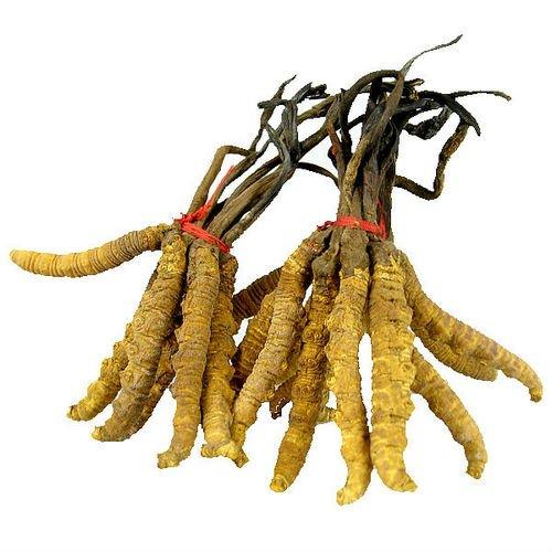 Đông trùng hạ thảo nguyên con tây tạng