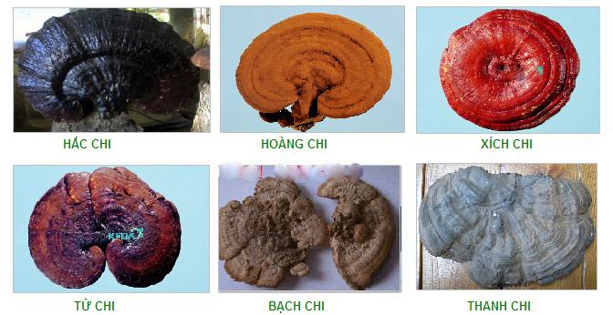 Có nhiều loại nấm linh chi khác nhau