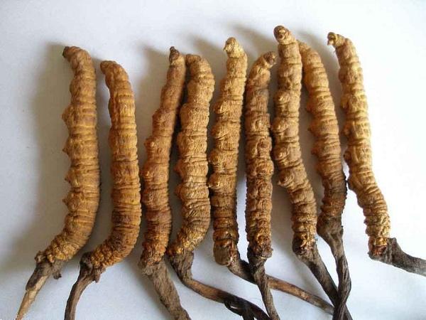Con đông trùng hạ thảo của Tây Tạng