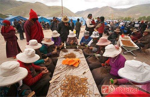 Buôn bán đông trùng hạ thảo tại Tây Tạng 3