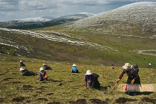 Tìm kiếm đông trùng hạ thảo trên cao nguyên Tây Tạng
